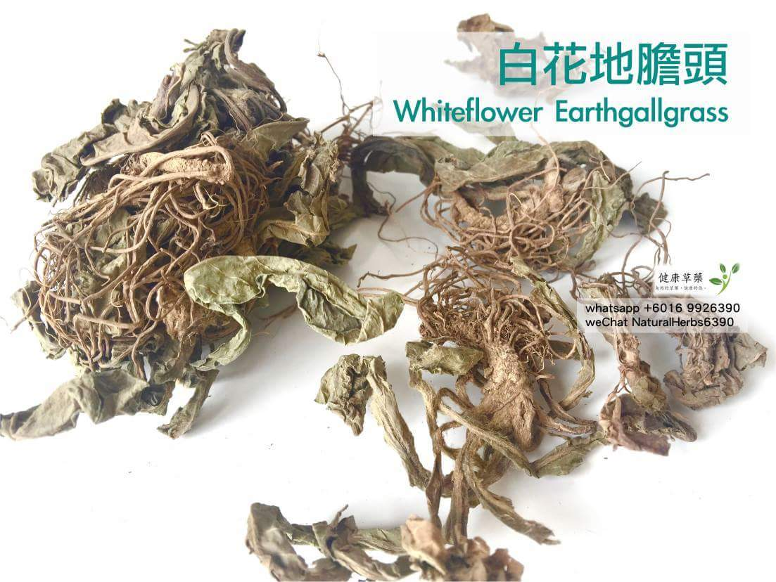 【甲狀腺腫大】白花地膽頭 Whiteflower Earthgallgrass